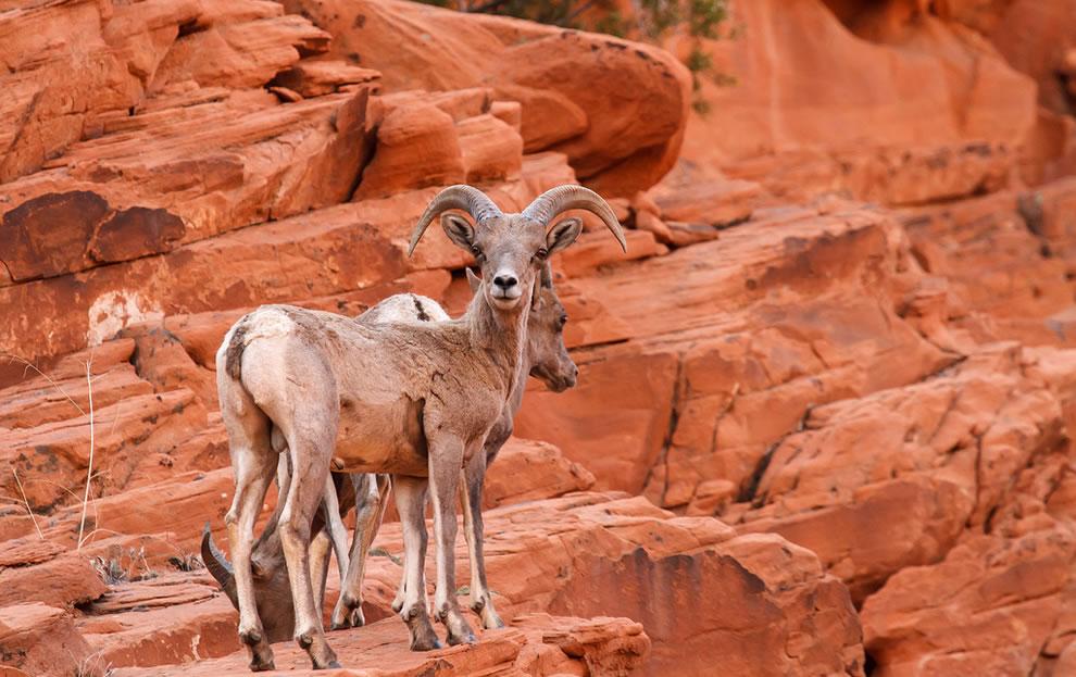 Desert-Big-Horn-Sheep-Valley-Of-Fire-State