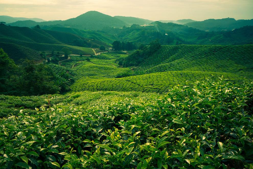 Boh-tea-plantation
