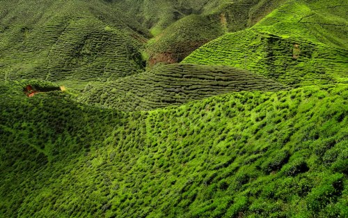 Example-of-intricate-labyrinth-of-Camellia-sinensis-bushes-on-a-tea-plantation