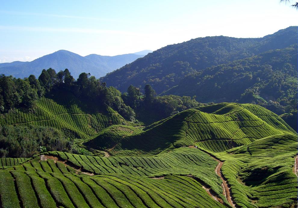 Fields-and-fields-of-Tea