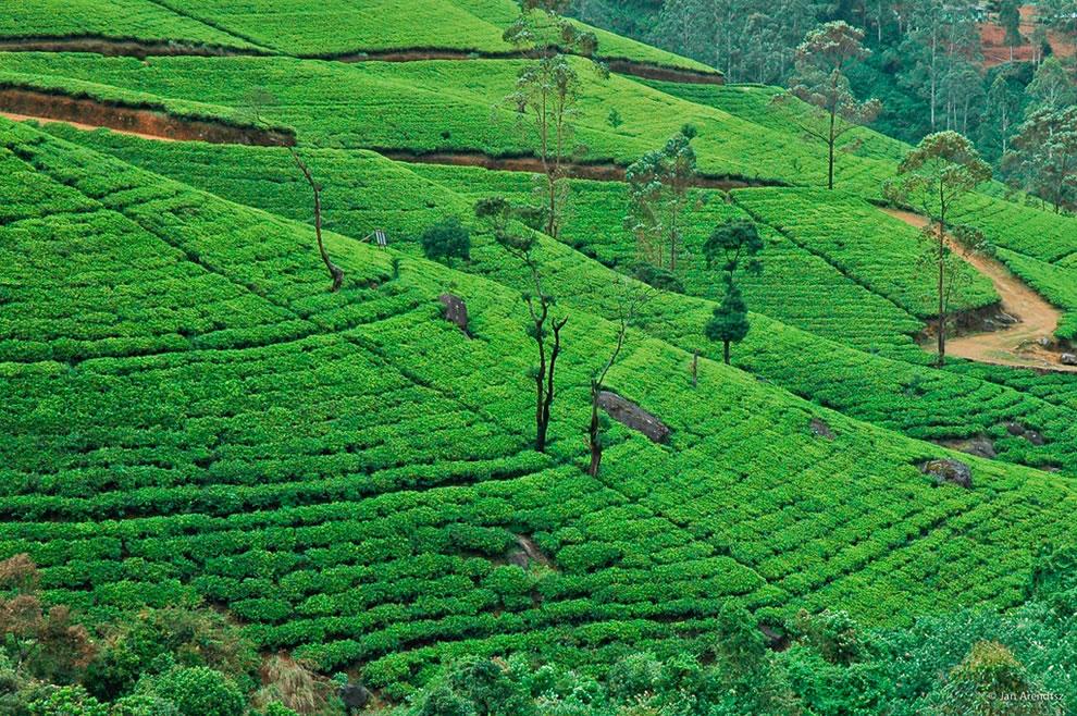 Gentle-slopes-of-a-tea-estate-in-the-hill-country-Nuwara-Eliya-Sri-Lanka