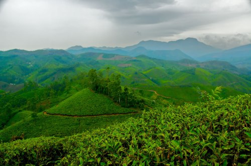 Tea-Estate-in-India