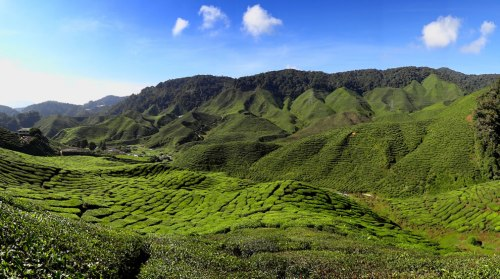 The-Bharat-Tea-Plantation-near-Tanah-Rata-in-the-Cameron-Highlands-Malaysia