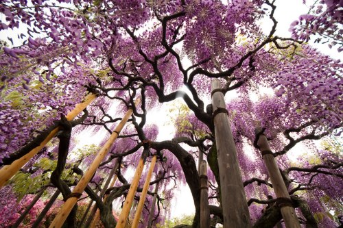Breathtaking-beauty-at-Ashikaga-Flower-Park