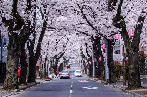 Cherry-Blossoms-lining-the-street-in-Chiba-Prefecture-Japan