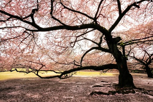 Massive-blooming-Sakura-tree
