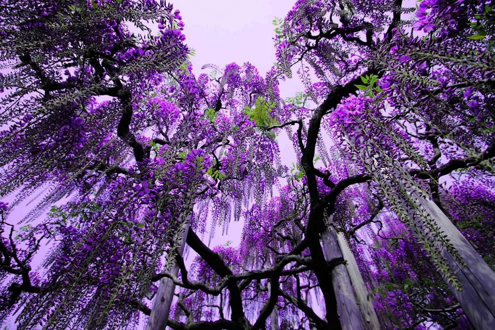 Purple-wiseria-at-Ashikaga-Flower-Park