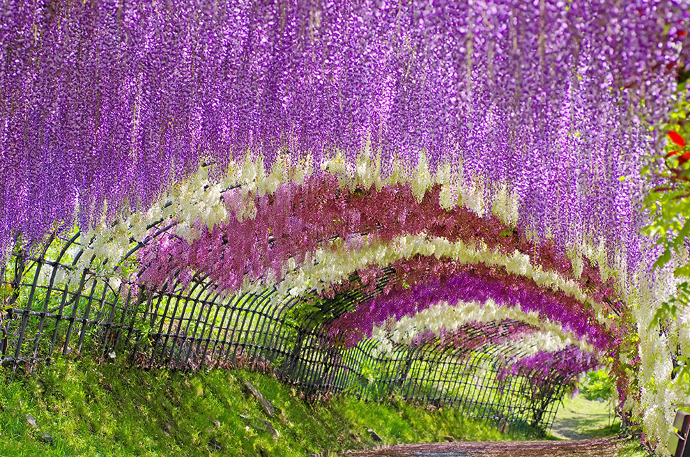 Wisteria-tunnel-in-Japan