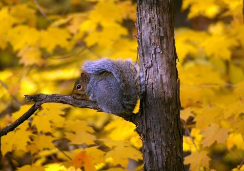 gray-squirrel-against-yellow-leaves-of-fall
