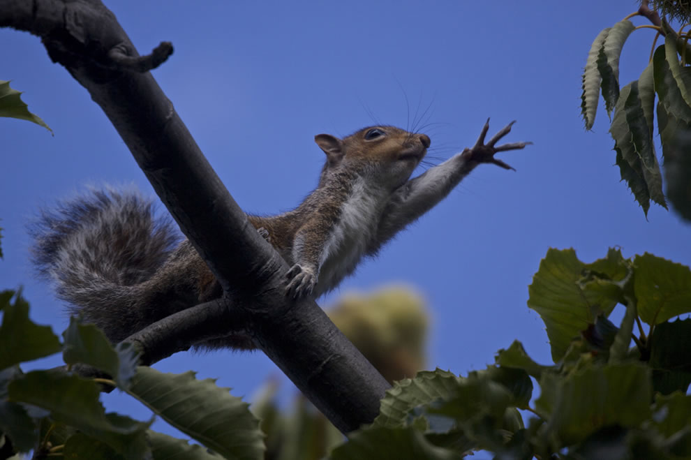 little-squirrel-in-a-tree-just-outside-the-observatory-in-greenwich-london-gathering-goodies-for-autumn