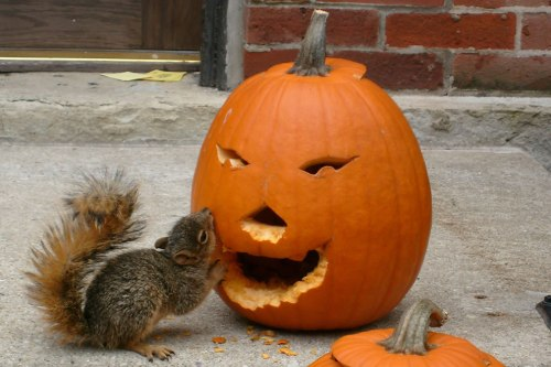 pumpkins-make-tasty-squirrel-food