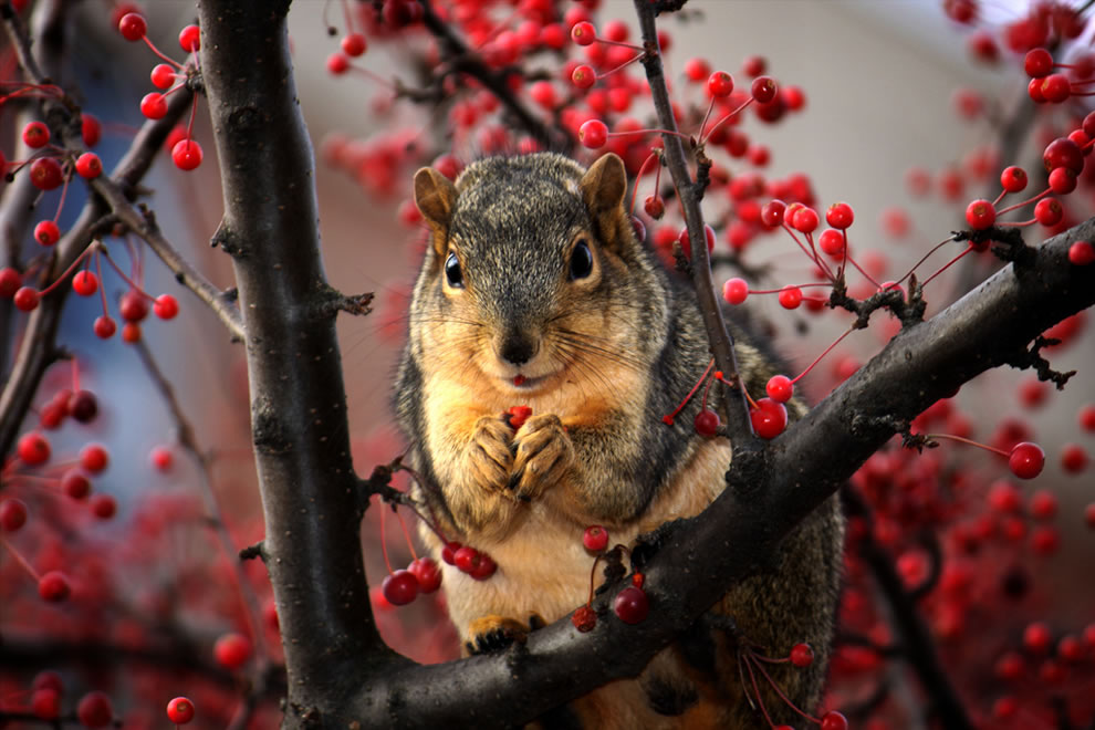 squirrel-feasting-on-red-berries