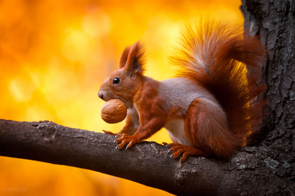 squirrel-with-a-walnut-trophy-in-kharkiv-ukraine