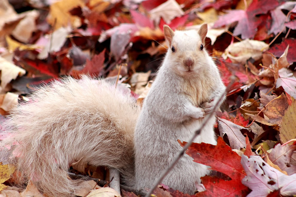 white-squirrel-sitting-in-the-fallen-autumn-leaves