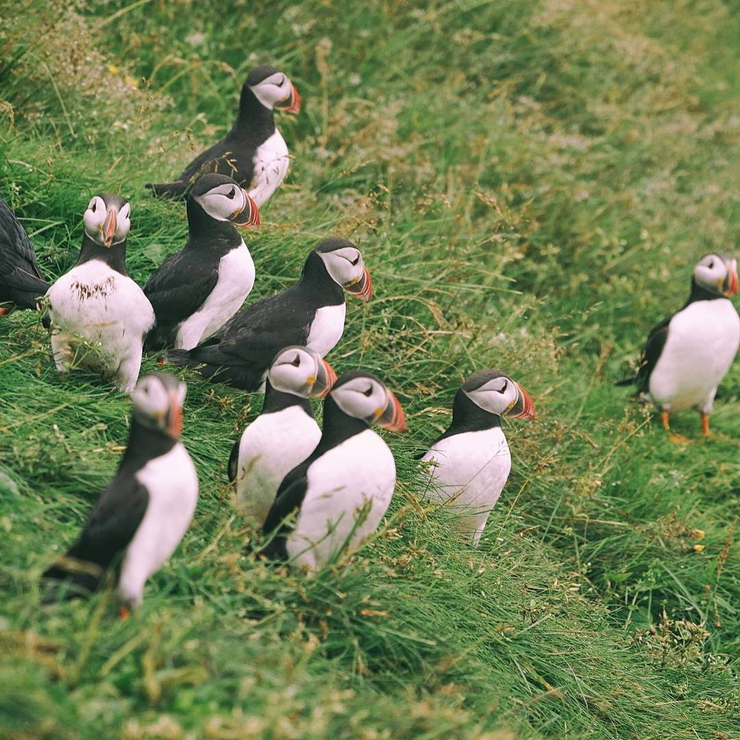 iceland-in-summer-@r3dmax-puffins